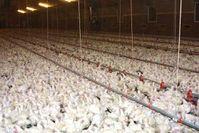 In drangvoller Enge: sogenannte Masthühner. Bild: Menschen für Tierrechte - Bundesverband der Tierversuchsgegner e.V.