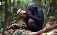 Schimpanse beim Nüsseknacken mit einem Steinhammer. Quelle: Mark Linfield (idw)