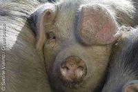 Buntes Bentheimer Schwein. Bild: Sabine Vielmo / Greenpeace