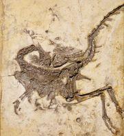 Compsognathus longipes aus den Plattenkalken der berühmten Fossil-Lagerstätte Solnhofen. Hals und Schwanz sind stark über das Rückgrat hinweg gekrümmt Quelle: © G. Janßen, O. Rauhut, Bayerische Staatssammlung für Paläontologie und Geologie (idw)
