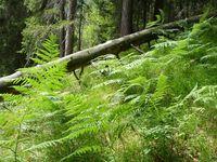 Naturwald ist in den letzten 100 Jahren enorm selten geworden in Mitteleuropa, aber auch weltweit (Symbolbild)