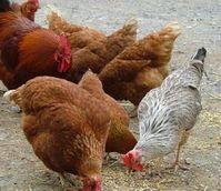 Geflügel: global zu viel Antibiotika im Einsatz. Bild: pixelio.de/Martin Schemm