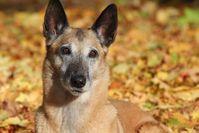 Ein mittelgroßer alternder Hund. Große Hunde sterben jünger als kleine, da sie schneller altern. Quelle: Foto: Thomas Köllner (idw)