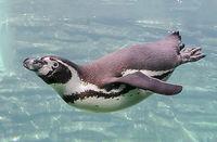Tauchender Humboldt-Pinguin