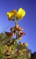 Die zur Gattung der Schmetterlingsblütler gehörende Crotalaria kommt hauptsächlich im tropischen und subtropischen Bereich vor. Quelle: Dietrich Ober (idw)