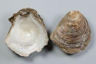 Die Europäische Auster (Ostrea edulis) ist in Deutschland vom Aussterben bedroht. Quelle: Senckenberg/Tränkner (idw)