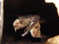 Fransenfledermäuse (Myotis nattereri) Foto: Stefan Greif