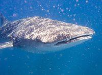 Walhai (Rhincodon typus). Bild: jon hanson / de.wikipedia.org