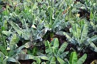 Banenenplanatagen in Monokulturanbau: Wie immer, sorgt die Natur dafür, daß Monokulturen zerstört werden mit Hilfe von Tieren, Pflanzen, Insekten, Bakterien, usw. (Symbolbild)