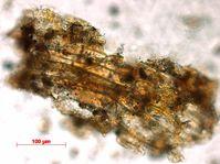 Pflanzenfragment aus dem Zahnstein eines Menschen aus der El Mirón Höhle. Quelle: MPI f. evolutionäre Anthropologie/ R. Power (idw)