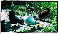 Hühner, Kücken (Symbolbild)