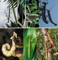 Nicht ähnlich, aber von gleicher Herkunft: Neuweltstabschrecken (oben) und Altweltstabschrecken (unten) bilden überraschenderweise eigene evolutive Linien innerhalb dieser Insektengruppe.