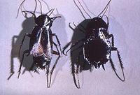 Männchen und Weibchen der Gemeinen Küchenschabe (Blatta orientalis). Bild: de.wikipedia.org