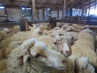 In der Nacht vor der Schur werden die Schafe durch Wasser- und Futterentzug absichtlich geschwächt. Bild: © PETA USA