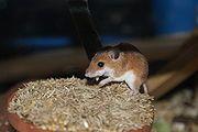 Mus musculoides, eine afrikanische Mäuseart Bild: de.wikipedia.org