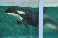 Orca Morgan in Gefangenschaft  Bild: Annemieke Podt