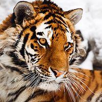 Amur-Tiger. Bild:  Igor Zhorov / WWF