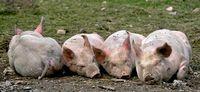 4 Schweine auf einem Bauernhof