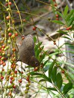 Die Früchte von Palmen sind eine wichtige Nahrungsquelle für den Seychellenpapagei. Quelle: Foto: Seychelles Islands Foundation (idw)
