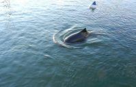 Ein Schweinswal schwimmt an einer Boje vorbei, die ähnlich aussieht wie das neue, zu testende PAL-Warngerät. Quelle: (Foto: Prof. Boris Culik, Heikendorf) (idw)