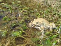 Wechselkröten sind von Mitteleuropa bis nach Zentralasien mit zahlreichen Arten vertreten. Sie besitzen ein XY-Geschlechtschromosomensystem; im Unterschied zu dem von Säugetieren und dem des Menschen kann man ihre Geschlechtschromosomen jedoch nur mittels molekularer Marker unterscheiden.
