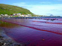 Färöer-Inseln während der Delfinjagd (Symbolbild)