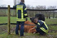 Kuh aus Elektrozaun befreit