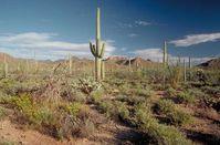 Saguaro National Park: Säulenkakteen im Park Bild: wikipedia.org