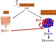 Diabetes Typ 2: Hormoneller Regelkreis. Quelle:  (idw)