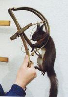 Immer wieder werden Eichhörnchen zum Opfer von Jägern, obwohl sie nicht gejagt werden dürfen. Bild: VIER PFOTEN