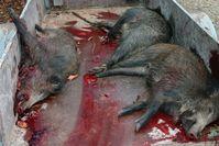 Tote abgeschlachtete Wildschweine