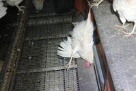 """Opfer der Tierschützer: Tierrechtsaktivisten ließen Huhn minutenlang für Videoaufnahmen hängen, anstatt es zu befreien. Bild: """"obs/Hönig-Hof GmbH/Aktivist Deutsches Tierschutzbüro e.V."""""""