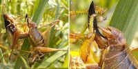 Heuschrecken-Männchen nutzen spezielle Organe zur Stimulation ihrer Partnerin.