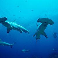 Hammerhaie  Bild:  © naturepl.com / Doug Perrine / WWF Canon