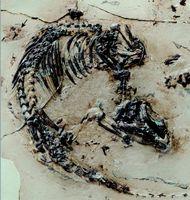 Skelett des Ursäugers Spinolestes mit erhaltenem Fellschatten. Am oberen Bildrand (Pfeil) erkennt man die Ohrmuschel. Das Skelett wurde bei der Präparation auf eine Kunstoff-Matrix transferiert. Quelle: Foto: Georg Oleschinski. Mit Genehmigung der Nature Publishing Group (idw)