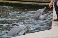 Die hochsensiblen Delfine leiden in Gefangenschaft Bild: PETA