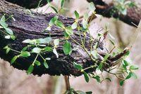 Eine Weißbeerige Mistel (Viscum album) Bild: bdk / GFDL / de.wikipedia.org
