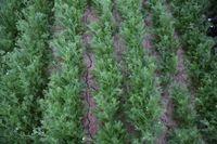 Kamille muss, wie andere Arzneipflanzen auch, unkrautfrei gehalten werden. Quelle: Stelter/FNR (idw)
