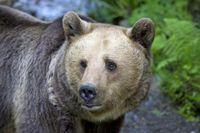"""In einigen Regionen Europas erholen sich die Bestände des Braunbären langsam. Immer wieder wandern die Tiere durch die Schweiz und könnten jederzeit auch in Deutschland auftauchen. Das ruft unterschiedliche Reaktionen hervor, denn das Image des Braunbären schwankt zwischen Teddy und Bestie. Bild: """"obs/ZDF/ZDF/Axel Gomille"""""""
