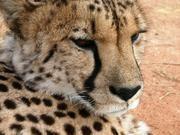 Geparde in Namibia sind genetisch weniger verarmt, als bislang angenommen. Sie sind gesund und pflanzen sich gut fort. Foto: Simone Sommer, IZW