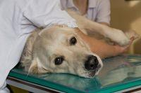 Auch Haustiere leiden an Nahrungsunverträglichkeiten und -Allergien. Quelle: Michael Bernkopf/Vetmeduni Vienna (idw)