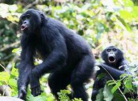 Das Lautrepertoire der Bonobos ist eine ganze Oktave höher angesiedelt als bei Schimpansen. Quelle: Cédric Girard-Buttoz, LuiKotale, D.R. Kongo (idw)