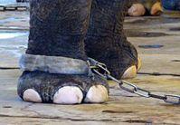 Im Zirkus verbringen Elefanten einen Großteil ihre Lebens an der Kette. Bild: VIER PFOTEN
