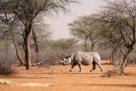 """Spitzmaulnashörner gehören zu den stark bedrohten Tierarten Namibias / Bild: """"obs/ZDF/Fabian Mühlberger"""""""