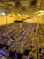 Hanf-Plantage Bild: Polizei