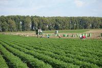 Osteuropäische Erntehelfer bei der Ernte von Karotten, nahe Frankenthal.