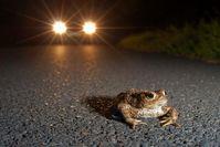 Erdkröten vor dem Auto. Bild: Jonathan Fieber / Nabu