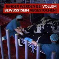Undercover- Recherche deckt auf, wie die Realität in deutschen Schlachthöfen aussieht!