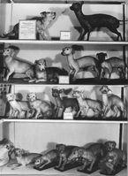 Historisches Foto der Museumsvitrine mit Dermoplastiken aus der Nackthundstudie. Oben: weiblicher behaarter Hund (l.) und männlicher haarloser Hund; darunter ihre Nachkommen (F1- und F2-Generation). Quelle: © Archiv Phyletisches Museum, Jena (idw)