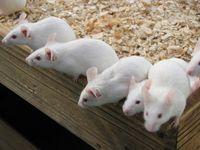 Mäuse (Symbolbild)